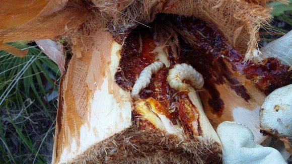 palme-nane-siciliane-infestate-dal-punteruolo-rosso-2