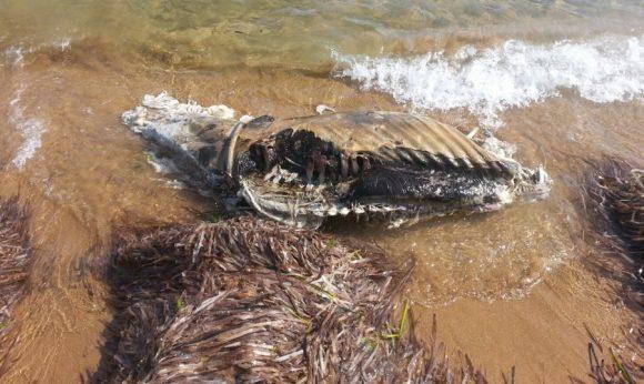animale spiaggia triscina 3
