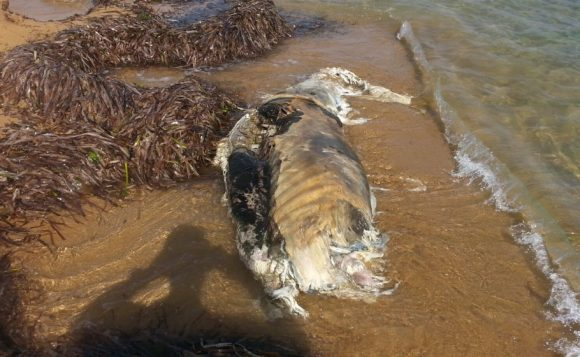 animale spiaggia triscina 4