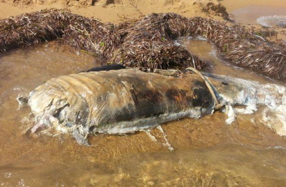 animale spiaggia triscina