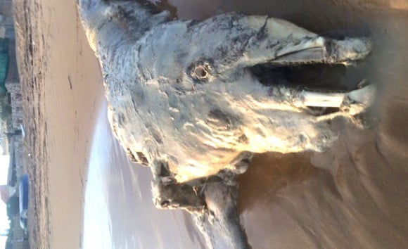 delfino triscina