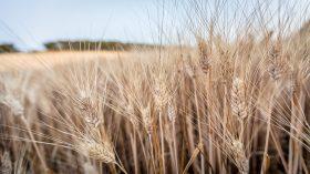grani antichi grano