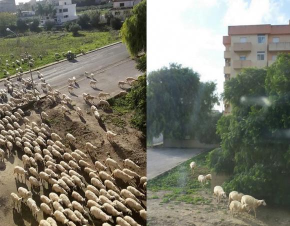pecore castelvetrano