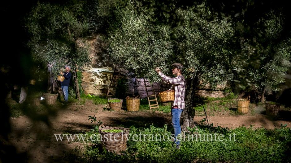 raccolta-olive-notte-10
