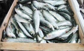 sardina-selinunte