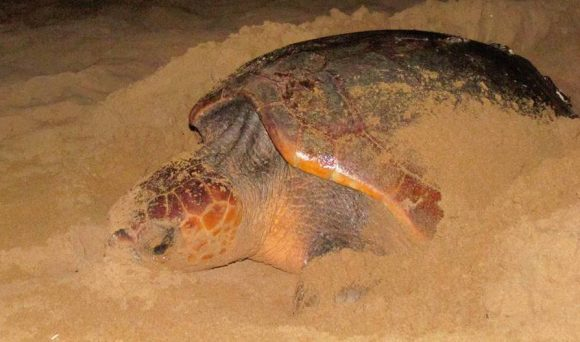 tartaruga triscina di selinunte 2