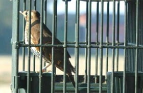 uccelli illegali