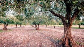 univo ulivi nocellara olio